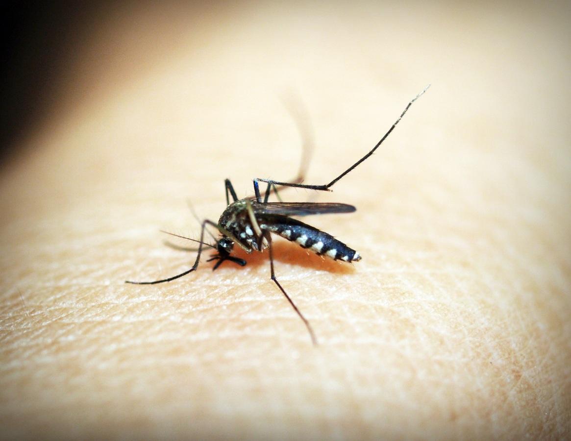 Mosquito Filariasis