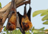 Fruit Bat is carrier of Nipah Virus