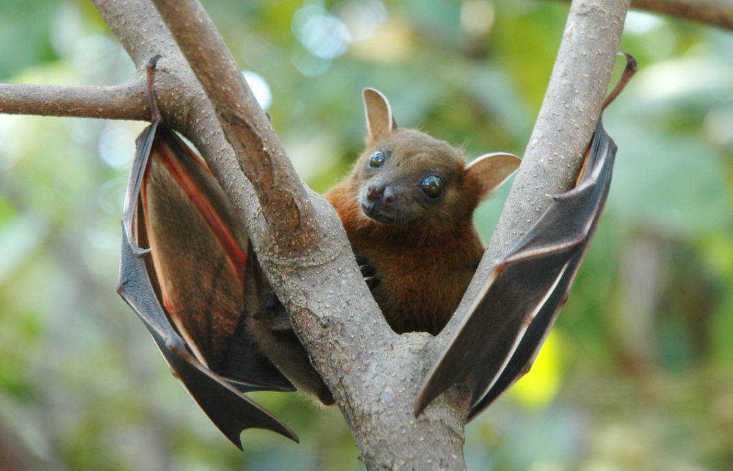 Fruit bat is natural carrier for Nipah virus