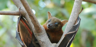 Fruit bat is natural carrier for Nipah virus