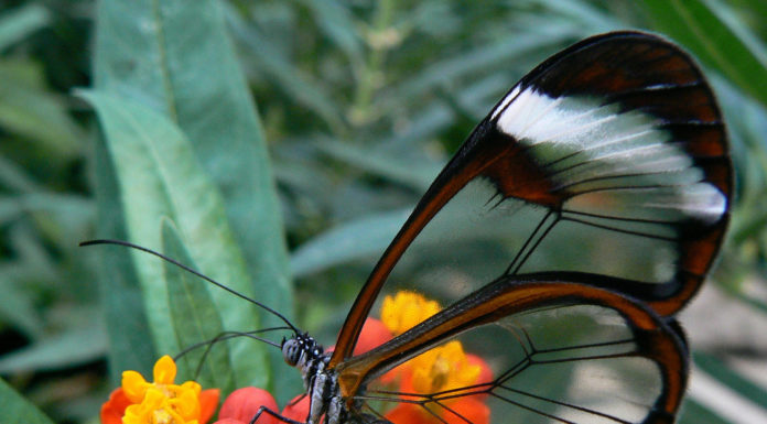 Longtail glasswing butterfly inspired implants can help glaucoma patients