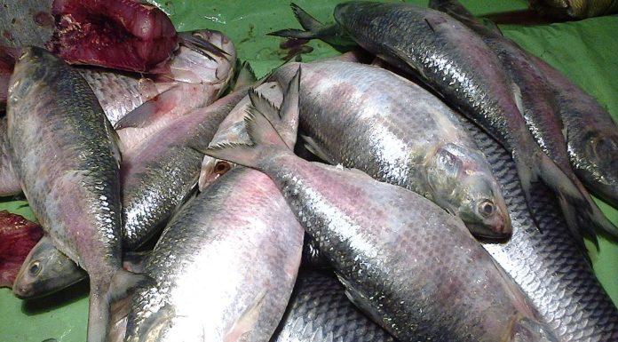 Hilsa Fish